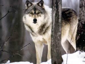 35367_winter-wolf